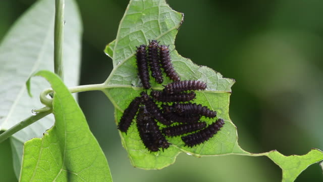 caterpillar hatchlings of butterfly (sericinus montela) from eggs - tentacle stock videos & royalty-free footage