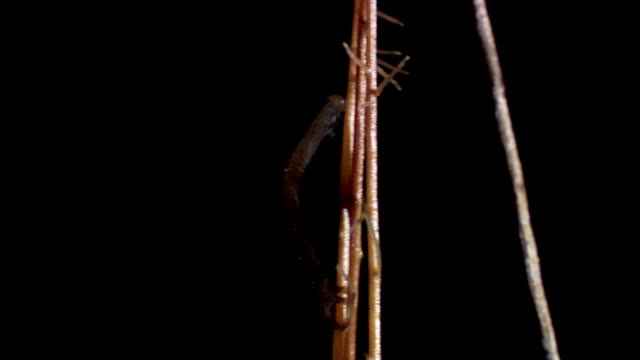 a caterpillar inches across a twig and strikes a beetle, knocking it off the twig. - twig stock videos & royalty-free footage