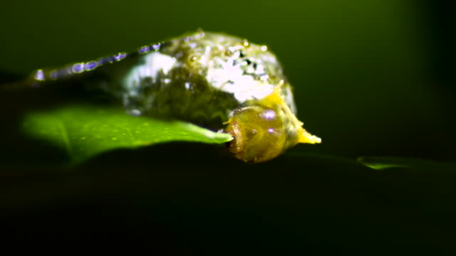 caterpillar mimics bird droppings while feeding, malaysia. - camouflage stock videos & royalty-free footage