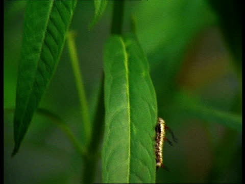 caterpillar moving up leaf, tilt up to 2 butterflies mating, life cycle - life cycle stock videos & royalty-free footage