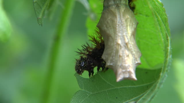 caterpillar of brush-footed butterfly (nymphalidae) eating a clematis (clematis apiifolia) leaf - ranunculus stock videos & royalty-free footage