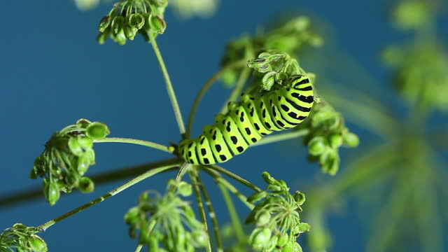 caterpillar of old world swallowtail (papilio machaon) - blue background stock videos & royalty-free footage