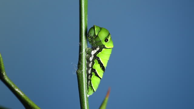 caterpillar of papilio xuthus (tiger swallowtail) inhabiting at trifoliolate orange tree - sharp stock videos & royalty-free footage