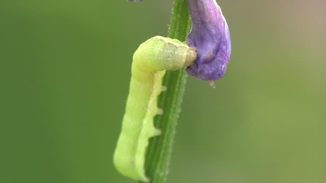 Caterpillar On Stalk