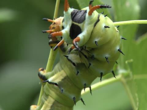caterpillar on stem - caterpillar inc stock videos & royalty-free footage