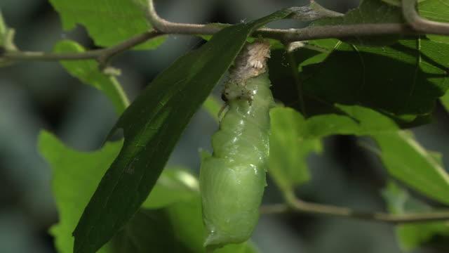Caterpillar Shedding Skin