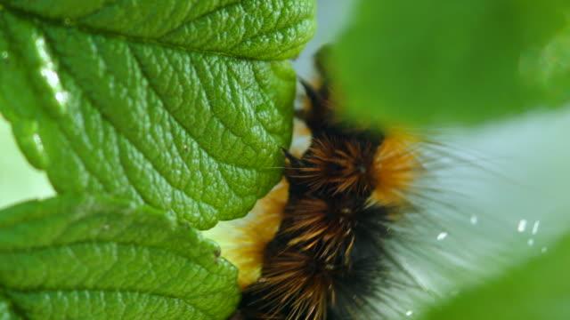 caterpillar - invertebrate stock videos & royalty-free footage