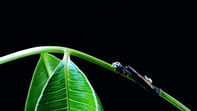Caterpillar geht auf grünem Blatt