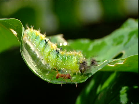 caterpillar with defensive horns fends off ant - pest stock videos & royalty-free footage