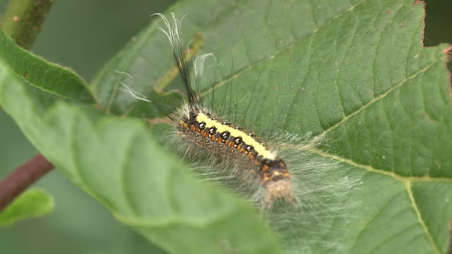 Caterpillar With Poisonous Hair