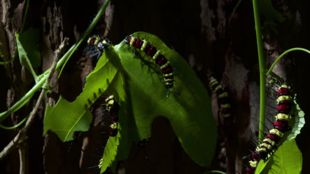 caterpillars eat leaves, malaysia. - destruction stock videos & royalty-free footage