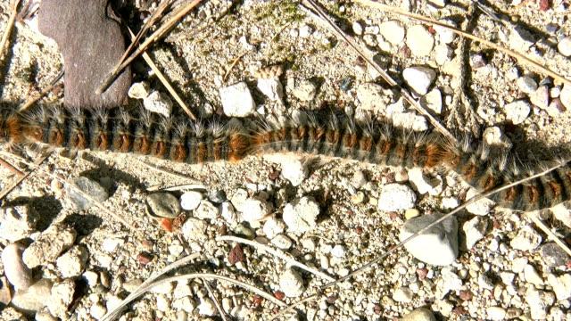 Caterpillars timelapse
