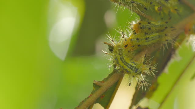 caterpillars worm eating leaf - pest stock videos & royalty-free footage