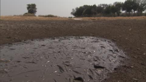 catfish die in an evaporating pool of muddy water. - freshwater fish stock videos & royalty-free footage