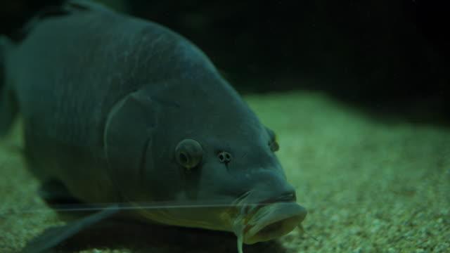 welsschwimmen im aquarium - tier in gefangenschaft stock-videos und b-roll-filmmaterial