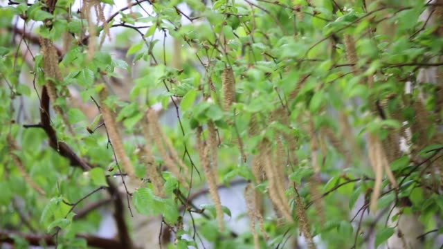 Catkins on a Silver Birch Tree