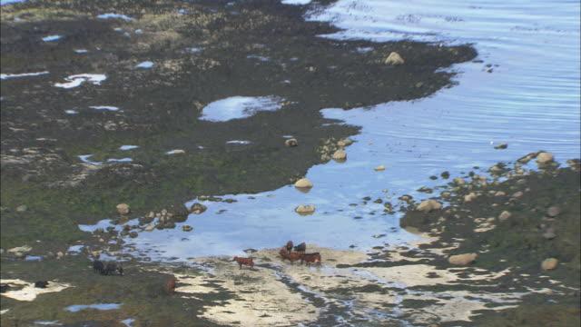 Catlle graze on a beach on the island of Canna.