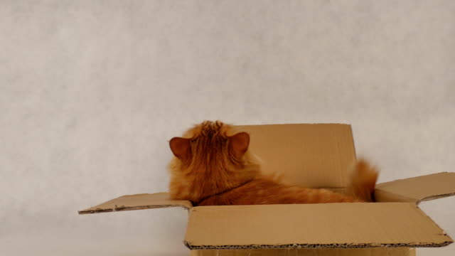 cat's back to camera and turn his eye to front - box container stock videos and b-roll footage