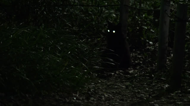 Cat's eyes shine as it looks around in woodland at night, Japan.