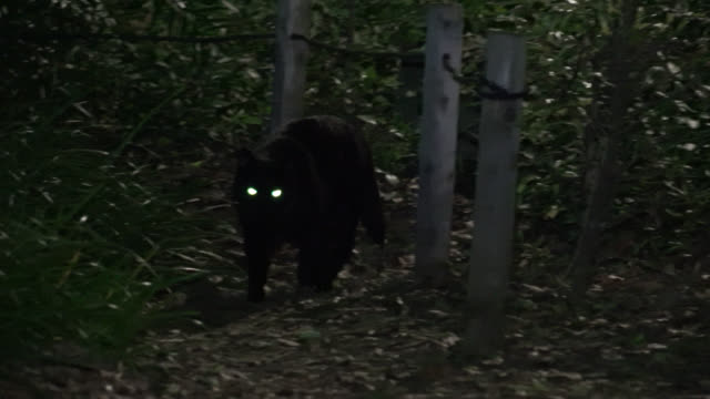 Cat's eyes shine as it walks through woodland at night, Japan.