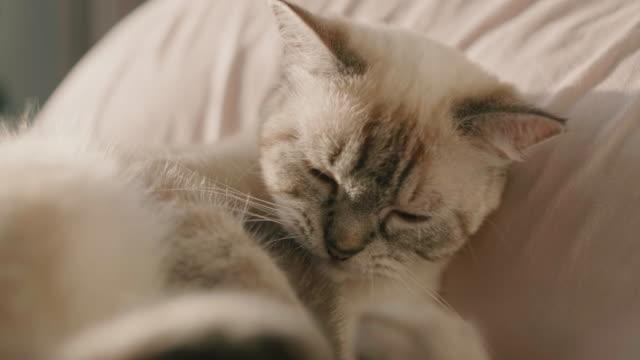 vídeos de stock, filmes e b-roll de gatos na cama, tentando dormir. - bichos mimados