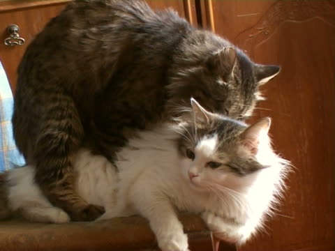 cats mating - two animals stock videos and b-roll footage