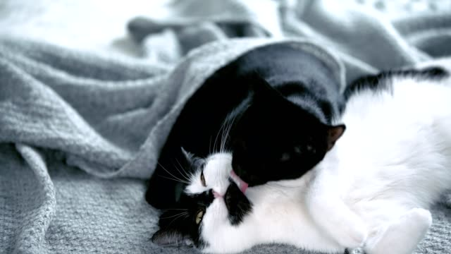 cats playing with each other on a cozy blanket - blanket texture stock videos and b-roll footage