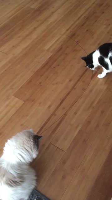 cats playing with piece of wire on the floor. - two animals stock videos & royalty-free footage