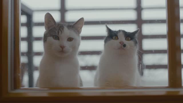 窓のそばに座っている猫 - ショートヘア種の猫点の映像素材/bロール