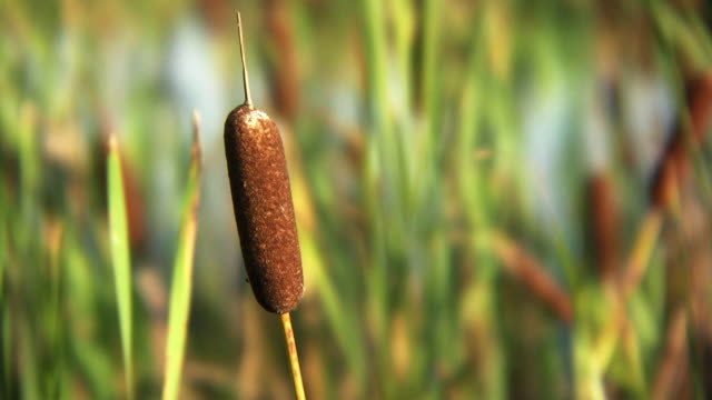 cattail - bulrush stock videos & royalty-free footage