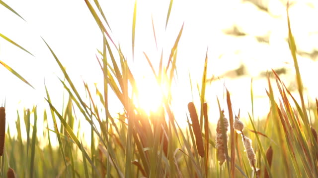 cattail - reed grass family stock videos and b-roll footage