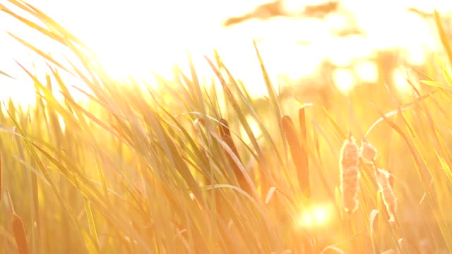 cattail waving on windy autumn day - reed grass family stock videos and b-roll footage