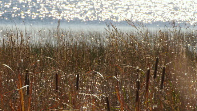 cattails and tall grass blow in the wind and sunlight glistens on the platte river. - tall high stock videos & royalty-free footage