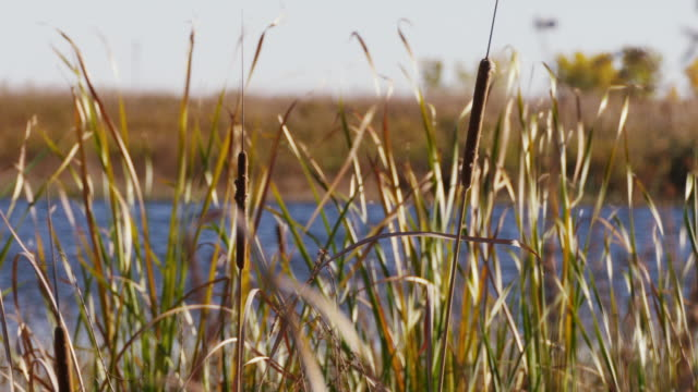 cattails and tall grass blow in the wind and sunlight glistens on the platte river. - bulrush stock videos & royalty-free footage