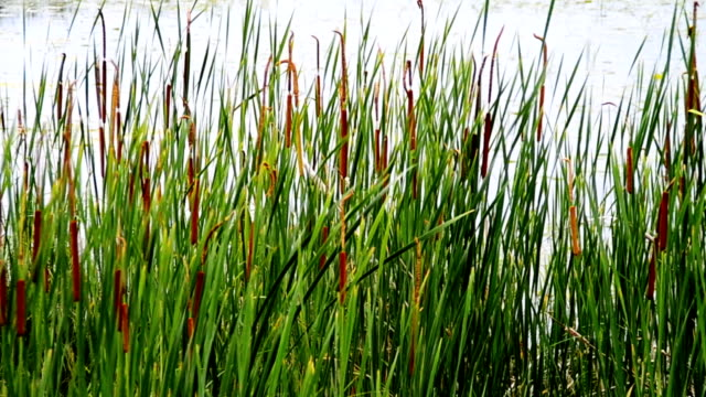 cattails blowing gently in the breeze - grass family stock videos & royalty-free footage