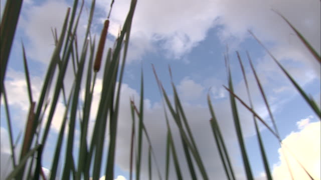 cattails frame a cloudy blue sky. - bulrush stock videos & royalty-free footage