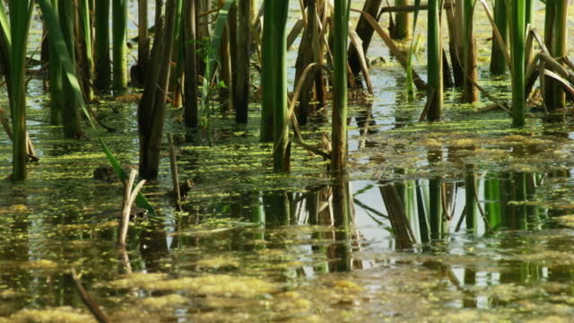 vídeos de stock e filmes b-roll de cattails in a pond - natureza morta