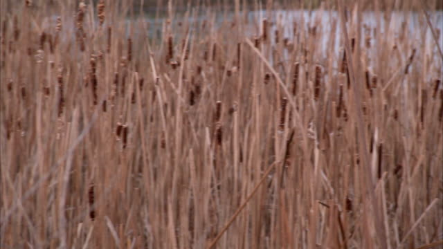 cattails rustle in the breeze. available in hd. - bulrush stock videos & royalty-free footage