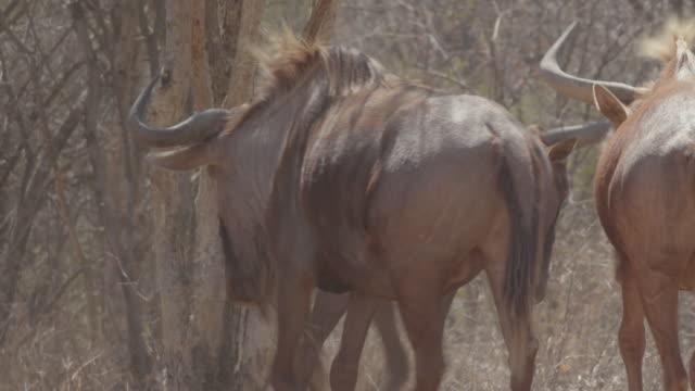 cattle / africa - 草食性点の映像素材/bロール