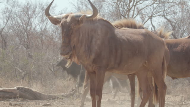cattle / africa - herbivorous stock videos & royalty-free footage