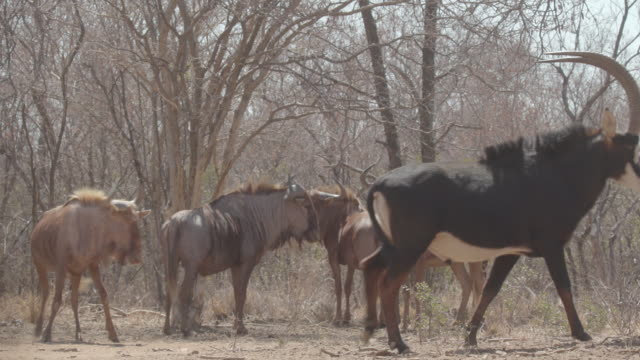 cattle and antelope / africa - herbivorous stock videos & royalty-free footage