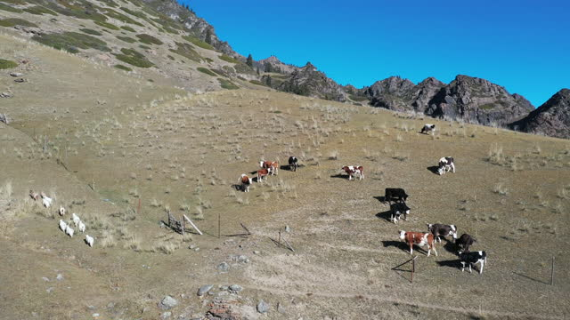 cattle and goats in mountain / xinjiang uyghur autonomous region, china - herbivorous stock videos & royalty-free footage