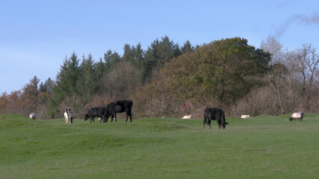 Cattle and sheep in a field in south west Scotland