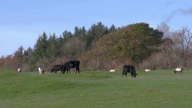 Rindern und Schafen in einem Feld im Südwesten Schottlands