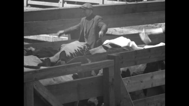 stockvideo's en b-roll-footage met vs cattle and sheep walking along with workers moving them in narrow enclosures at stockyard / note exact day not known - omsloten ruimte