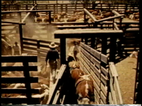 stockvideo's en b-roll-footage met 1941 montage cattle being driven through pens and chutes / united states - agrarisch beroep