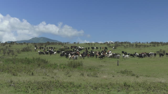 cattle being herded in distance - tanzania stock videos & royalty-free footage