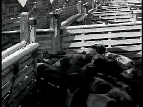 vídeos de stock, filmes e b-roll de cattle being herded out of rail cars cattle moving through pen gate sheep ws snow covered plain herd of sheep on ranch sheep moving in herd on searle... - 1943