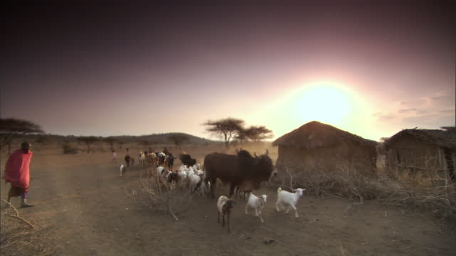 ws pan cattle being herded through village / tanzania  - rind stock-videos und b-roll-filmmaterial