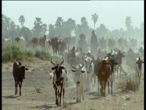 cattle being herded towards camera, mali - indigenous culture stock videos & royalty-free footage
